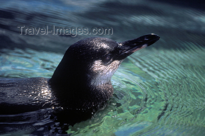 galapagos38: Isla Isabela / Albemarle island, Galapagos Islands, Ecuador: the Galapagos Penguin (Spheniscus mendiculus) is the most northerly penguin in the world - head out of the water - photo by C.Lovell - (c) Travel-Images.com - Stock Photography agency - Image Bank