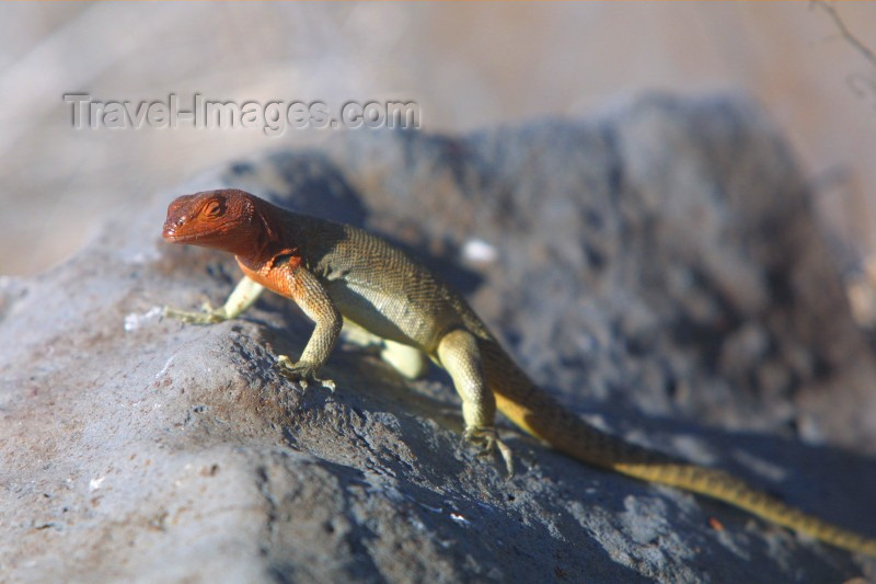 galapagos4: Galapagos Islands: lava lizard - Tropidurus delanonis - photo by R.Eime - (c) Travel-Images.com - Stock Photography agency - Image Bank