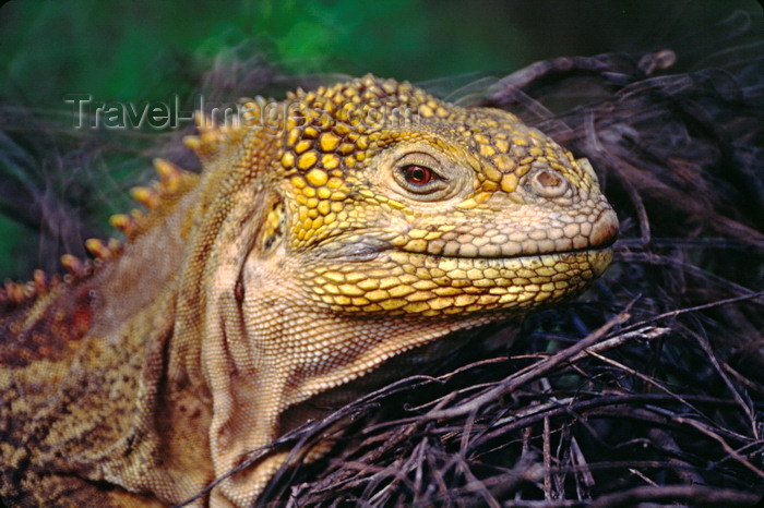 galapagos43: Isla Isabela / Albemarle island, Galapagos Islands, Ecuador: Female Galapagos Land Iguana (Conolophus subcristatus) - head close-up - photo by C.Lovell - (c) Travel-Images.com - Stock Photography agency - Image Bank