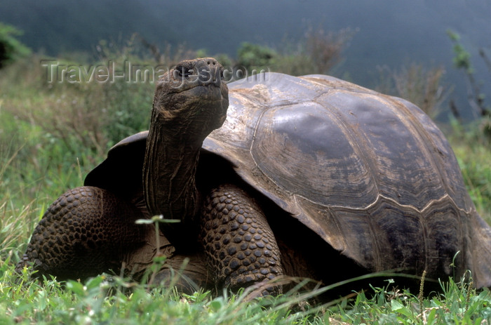 galapagos45: Isla Isabela / Albemarle island, Galapagos Islands, Ecuador: Giant Tortoise (Geochelone elephantopus) on Alcedo Volcano - smelling the wind - photo by C.Lovell - (c) Travel-Images.com - Stock Photography agency - Image Bank