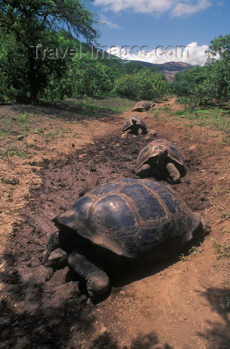galapagos49: Galapagos Islands, Ecuador: the Giant Tortoise 'highway' leads them from the sea to freshwater and food in higher ground - photo by C.Lovell - (c) Travel-Images.com - Stock Photography agency - Image Bank