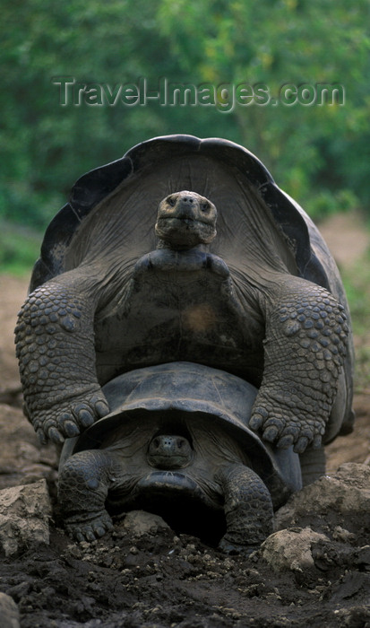 galapagos50: Isla Isabela / Albemarle island, Galapagos Islands, Ecuador: the Giant Tortoise (Geochelone elephantopus) begins mating at 40 years of age - photo by C.Lovell - (c) Travel-Images.com - Stock Photography agency - Image Bank