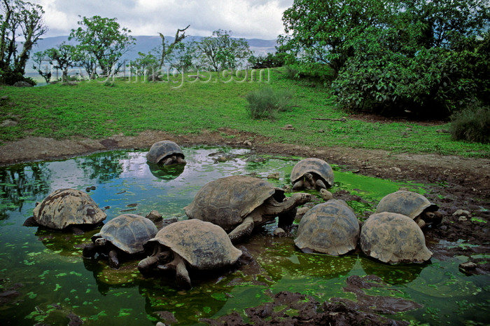galapagos52: Isla Isabela / Albemarle island, Galapagos Islands, Ecuador: the Giant Tortoise (Geochelone elephantopus) lives to 150 years - Tortoises in a small pond - photo by C.Lovell - (c) Travel-Images.com - Stock Photography agency - Image Bank