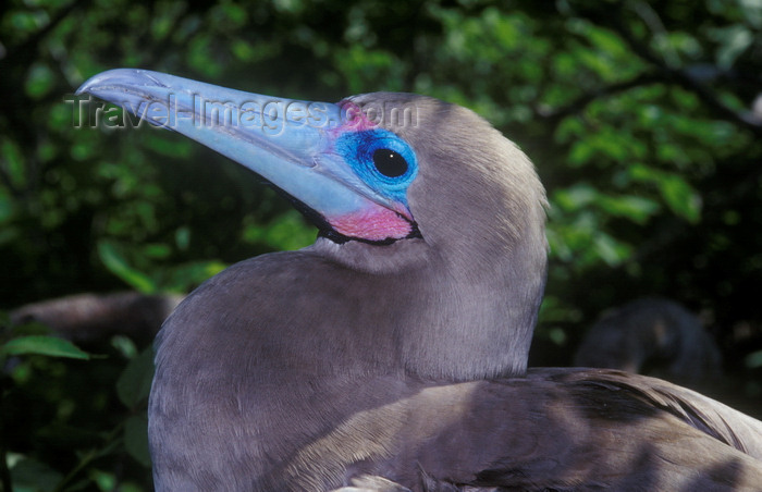 galapagos55: Genovesa Island / Tower Island, Galapagos Islands, Ecuador: Red-footed Booby bird (Sula sula), the smallest of the Galapagos boobies - head close-up - photo by C.Lovell - (c) Travel-Images.com - Stock Photography agency - Image Bank