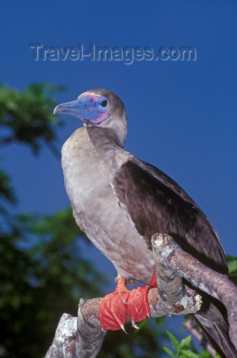 galapagos56: Genovesa Island / Tower Island, Galapagos Islands, Ecuador: Red-footed Booby bird (Sula sula), the smallest of the Galapagos boobies - perched on a branch - photo by C.Lovell - (c) Travel-Images.com - Stock Photography agency - Image Bank