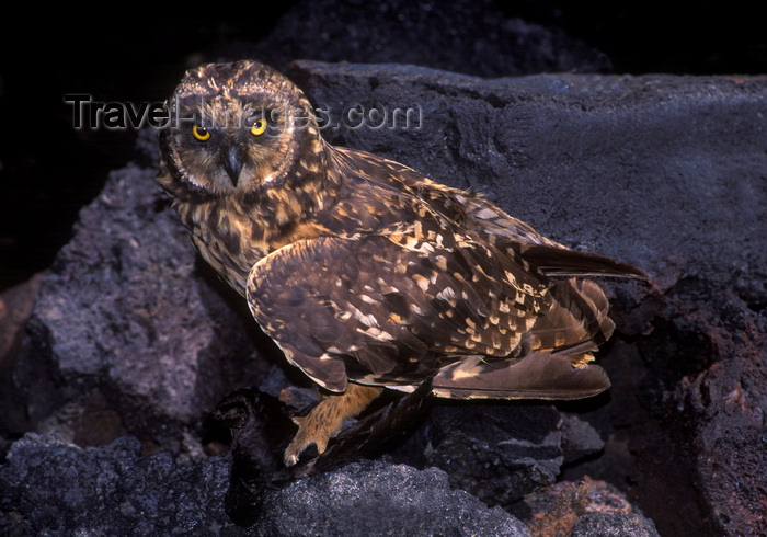 galapagos57: Genovesa Island / Tower Island, Galapagos Islands, Ecuador: the Short-eared Owl (Asio flammeus), one of the islands' only natural predators - holding a bird in his claws - photo by C.Lovell - (c) Travel-Images.com - Stock Photography agency - Image Bank