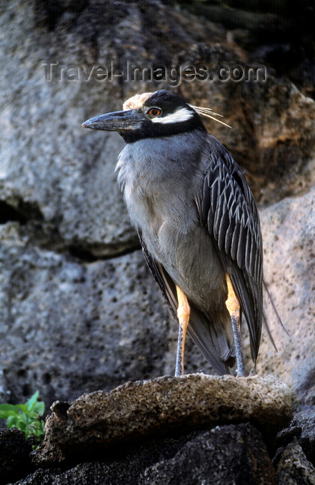 galapagos58: Genovesa Island / Tower Island, Galapagos Islands, Ecuador: the Yellow-crowned Night Heron (Nyctanassa violacea) feeds mainly at night - photo by C.Lovell - (c) Travel-Images.com - Stock Photography agency - Image Bank