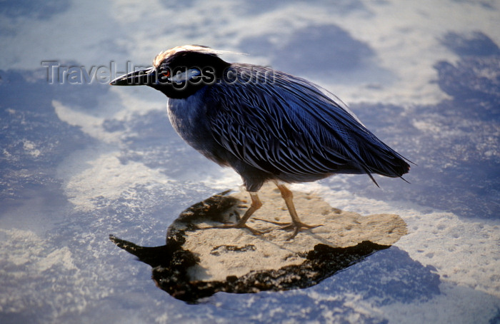 galapagos59: Genovesa Island / Tower Island, Galapagos Islands, Ecuador: Yellow-crowned Night Heron (Nyctanassa violacea) walking in a shallow pool of water - photo by C.Lovell - (c) Travel-Images.com - Stock Photography agency - Image Bank