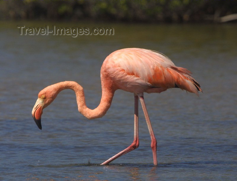galapagos6: Galapagos Islands - Santa Cruz island: a lone pink Flamingo - Phoenicopterus ruber - photo by R.Eime - (c) Travel-Images.com - Stock Photography agency - Image Bank