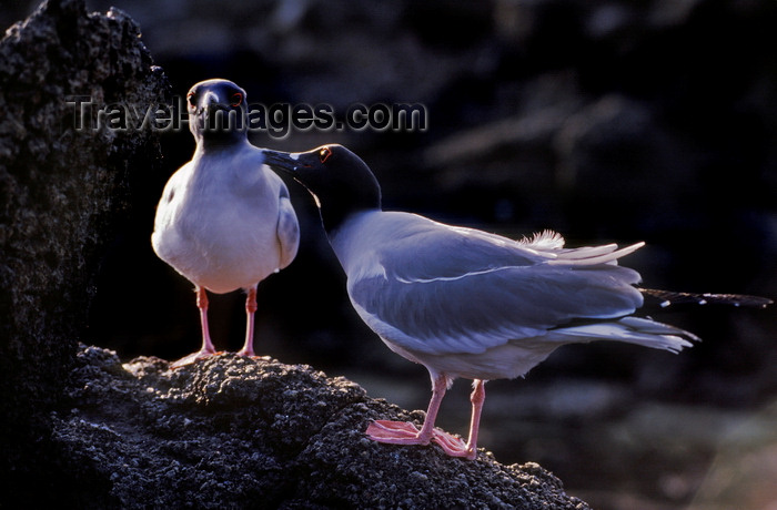 galapagos60: Genovesa Island / Tower Island, Galapagos Islands, Ecuador: Swallow-tailed gull (Creagrus furcatus), the world's only nocturnal gull - couple on rocks- photo by C.Lovell - (c) Travel-Images.com - Stock Photography agency - Image Bank