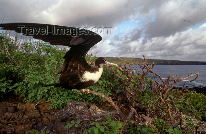 galapagos61: Genovesa Island / Tower Island, Galapagos Islands, Ecuador: female Great Frigate bird (Fregata minor) - open wings - view of the coast - photo by C.Lovell - (c) Travel-Images.com - Stock Photography agency - Image Bank