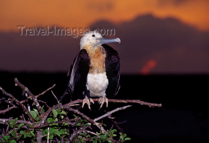 galapagos62: Genovesa Island / Tower Island, Galapagos Islands, Ecuador: female Great Frigate bird (Fregata minor) at sunset - perched on a branch - photo by C.Lovell - (c) Travel-Images.com - Stock Photography agency - Image Bank