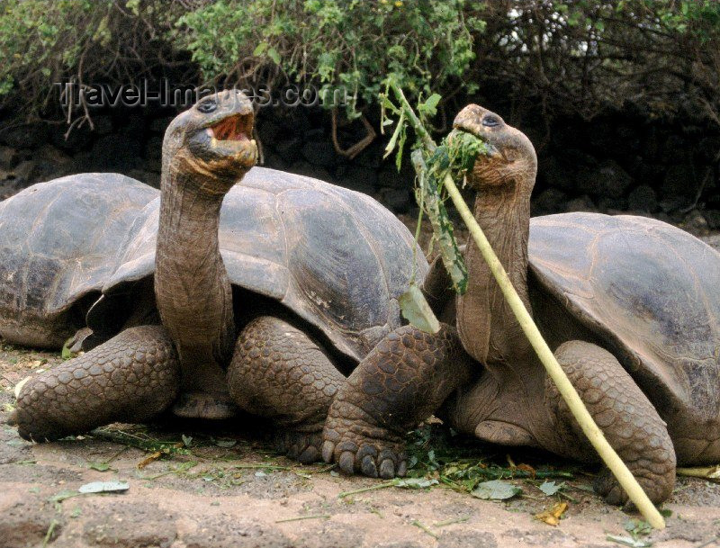 galapagos7: Galapagos Islands, Ecuador: giant tortoises at the Charles Darwin Research Station - photo by R.Eime - (c) Travel-Images.com - Stock Photography agency - Image Bank