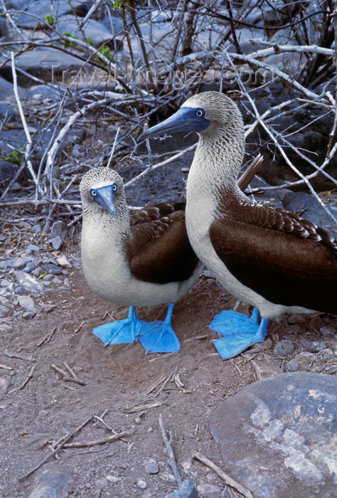 galapagos74: Galapagos Islands, Ecuador: a mating pair of Blue-footed Booby birds (Sula nebouxii) - photo by C.Lovell - (c) Travel-Images.com - Stock Photography agency - Image Bank