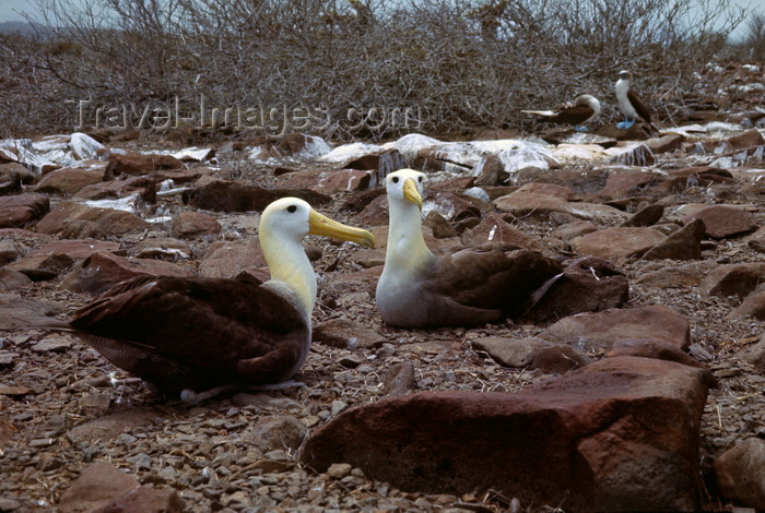 galapagos75: Galapagos Islands, Ecuador: Waved Albatross pair (Diomedea Irrorata), the largest of the Galapagos - many sea birds mate for life - photo by C.Lovell - (c) Travel-Images.com - Stock Photography agency - Image Bank