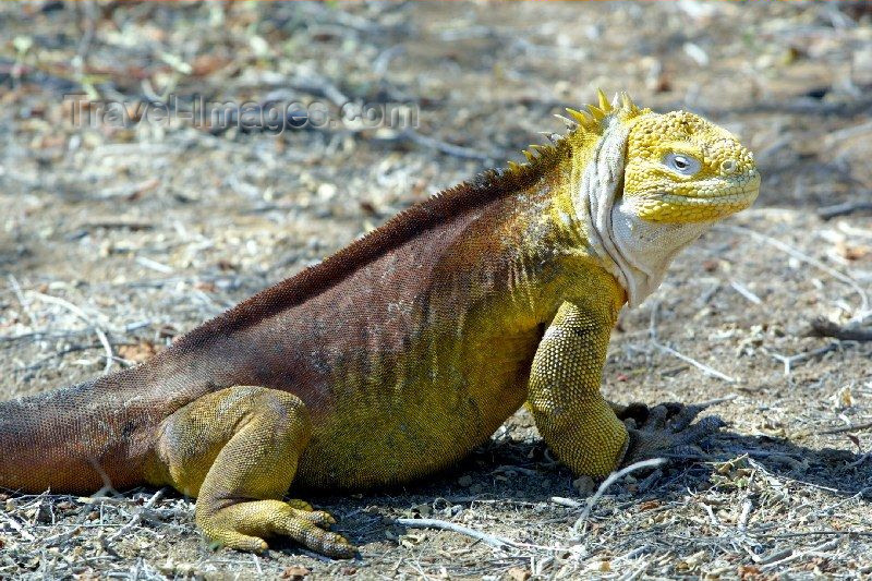galapagos8: Galapagos Islands - Unesco world heritage site - Santa Cruz islabd: land iguana - conolophus subcristatus - photo by R.Eime - (c) Travel-Images.com - Stock Photography agency - Image Bank