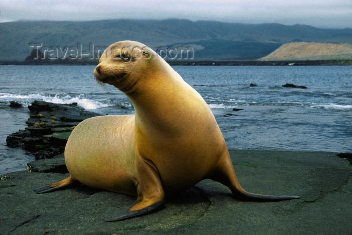 galapagos80: Santa Cruz Island, Galapagos Islands, Ecuador: Fur Seal on the beach - photo by C.Lovell - (c) Travel-Images.com - Stock Photography agency - Image Bank