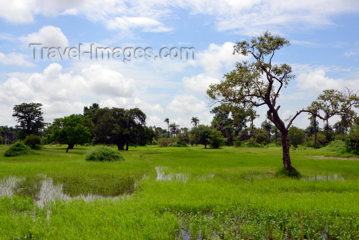 gambia113: North Bank division, Gambia: trees and rice fields on the swampy banks the River Gambia - photo by M.Torres - (c) Travel-Images.com - Stock Photography agency - Image Bank