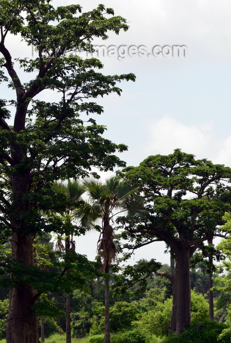 gambia114: North Bank division, Gambia: tall baobab trees in the forest - adansonia digitata - photo by M.Torres - (c) Travel-Images.com - Stock Photography agency - Image Bank
