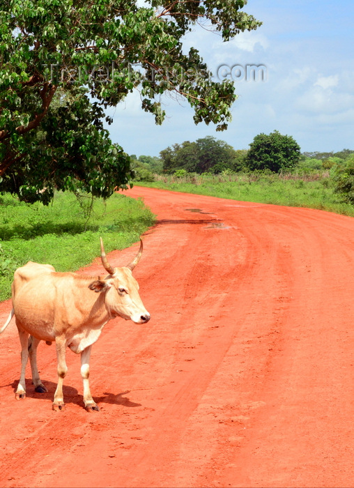 gambia115: Bakendik, North Bank division, Gambia: cow and dirt road - rural scene - photo by M.Torres - (c) Travel-Images.com - Stock Photography agency - Image Bank