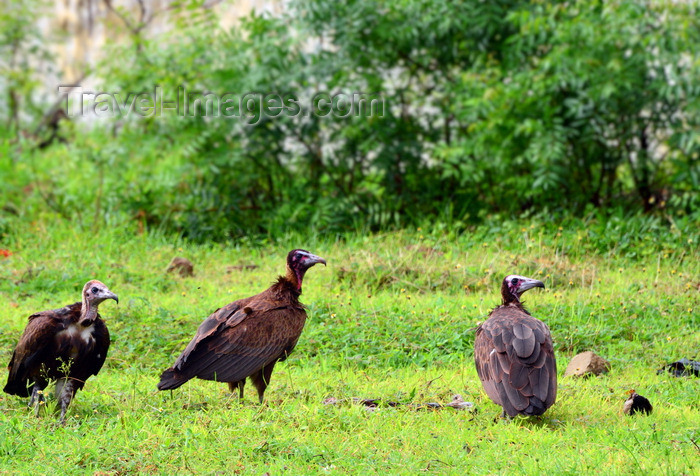 gambia12: Banjul island, The Gambia: three Hooded vultures (Necrosyrtes monachus) wait on the grass - Old World Vulture - photo by M.Torres - (c) Travel-Images.com - Stock Photography agency - Image Bank