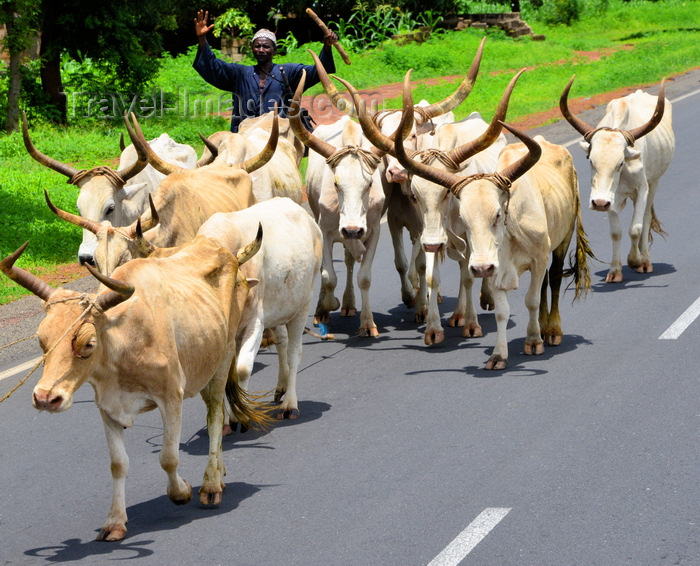 gambia120: Lewna, North Bank division, Gambia: a herder takes his longhorn cattle along the road - photo by M.Torres - (c) Travel-Images.com - Stock Photography agency - Image Bank