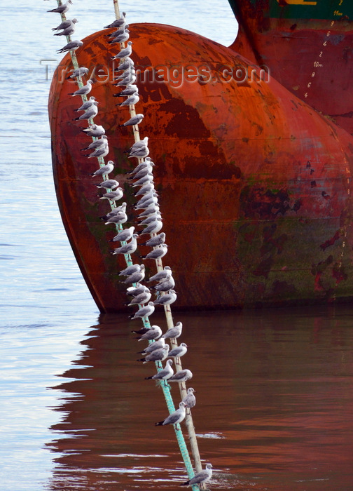 gambia34: Banjul, The Gambia: port of Banjul - seagulls perched on a ship's mooring lines - ship's hull forepeak / bulbous bow - photo by M.Torres - (c) Travel-Images.com - Stock Photography agency - Image Bank