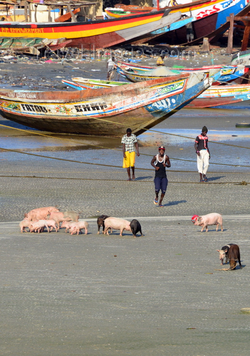 gambia72: Barra, The Gambia: fishing boats, young men and pigs - beach scene - sounder of swine - photo by M.Torres - (c) Travel-Images.com - Stock Photography agency - Image Bank