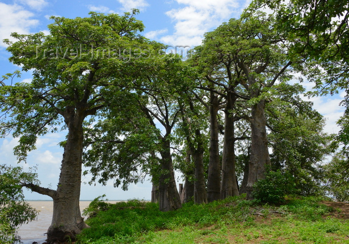 gambia96: James Island / Kunta Kinteh island, The Gambia: baobab forest by the river Gambia - photo by M.Torres - (c) Travel-Images.com - Stock Photography agency - Image Bank