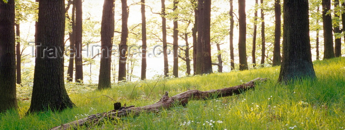 germany371: Eisenach, Thuringia, Germany: backlit tree trunks in the forest near Wartburg Castle - Thuringian Forest - photo by A.Harries - (c) Travel-Images.com - Stock Photography agency - Image Bank