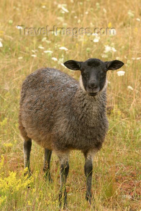 gotland46: Sweden - Gotland island / Gotlands län - Gotland sheep - Gotlandsfar or Pälsfar - local breed - photo by C.Schmidt - (c) Travel-Images.com - Stock Photography agency - Image Bank