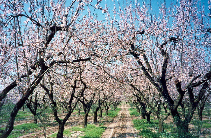 greece102: Greece - Platanos (Thessalia): blossoming almond orchard (photo by Miguel Torres) - (c) Travel-Images.com - Stock Photography agency - Image Bank