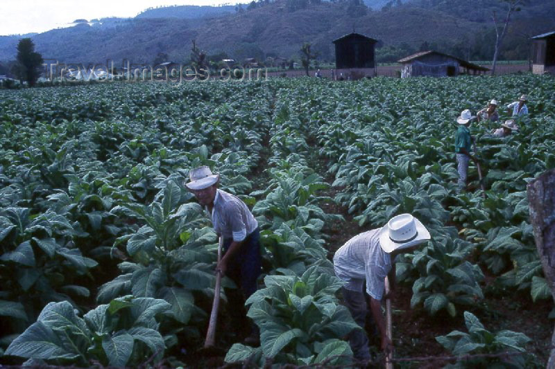 guatemala10: Guatemala - Chiquimula (Santa Rosa Province): tobacco farmers (photographer: Mona Sturges) - (c) Travel-Images.com - Stock Photography agency - Image Bank