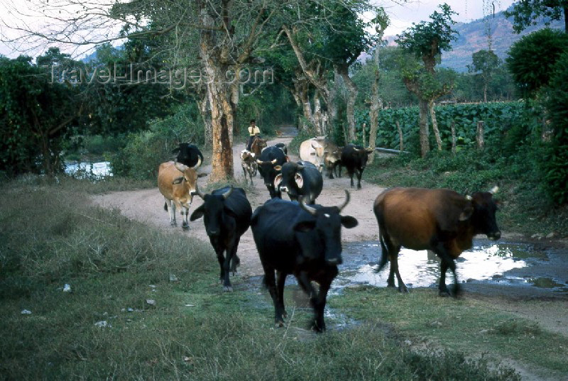 guatemala11: Guatemala - Chiquimula (Santa Rosa department): when the cows come home / vacas (photographer: Mona Sturges) - (c) Travel-Images.com - Stock Photography agency - Image Bank