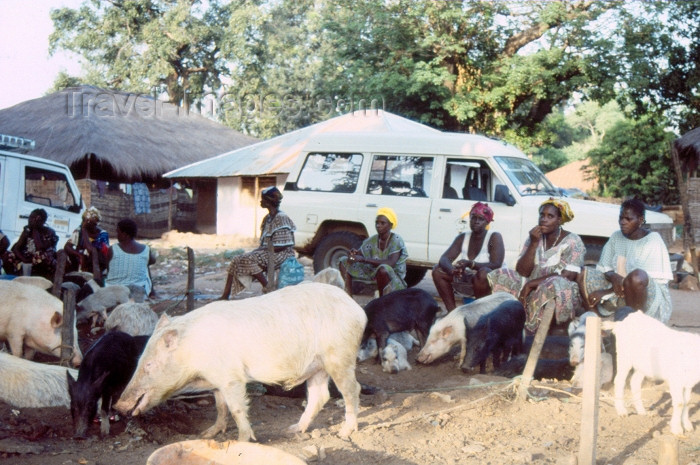 guinea-bissau1: Guinea Bissau / Guiné Bissau - Bula: pigs in town / porcos na vila (foto de / photo by Dolores CM) - (c) Travel-Images.com - Stock Photography agency - Image Bank