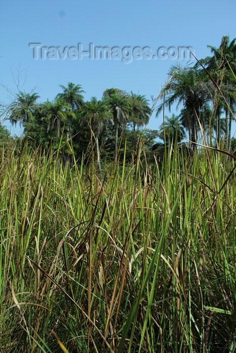 guinea-bissau128: Rubane Island, Bijagós Archipelago - UNESCO biosphere reserve, Bubaque sector, Bolama region, Guinea Bissau / Guiné Bissau: tall grass and palms / floresta, palmeiras - photo by R.V.Lopes - (c) Travel-Images.com - Stock Photography agency - Image Bank