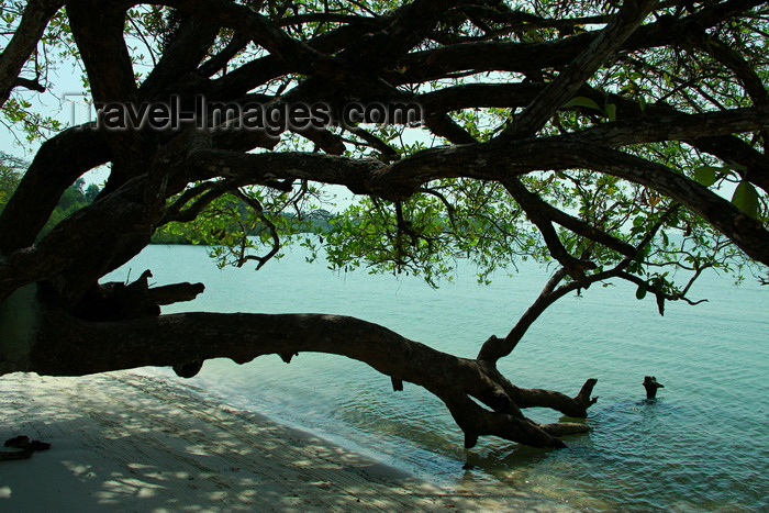 guinea-bissau140: Rubane Island, Bijagós Archipelago - UNESCO biosphere reserve, Bubaque sector, Bolama region, Guinea Bissau / Guiné Bissau: beach with tree dropping into the water / praia - árvore - photo by R.V.Lopes - (c) Travel-Images.com - Stock Photography agency - Image Bank