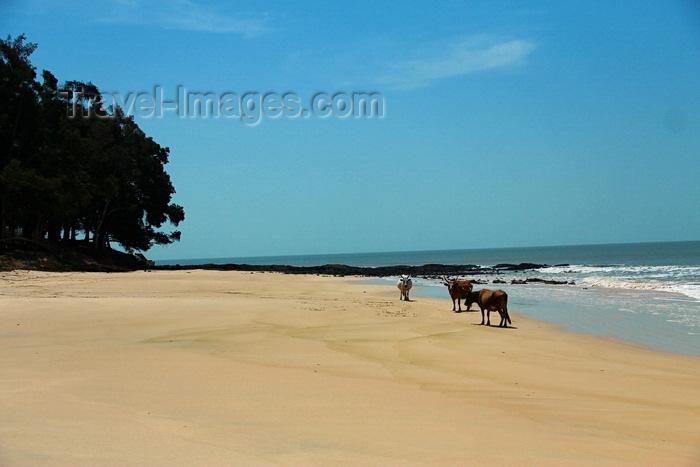 guinea-bissau162: Praia de Varela / Varela beach, Cacheu region, Guinea Bissau / Guiné Bissau: beach view, cows roaming / Paisagem da praia, vacas - photo by R.V.Lopes - (c) Travel-Images.com - Stock Photography agency - Image Bank