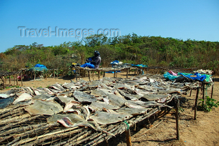 guinea-bissau178: Praia de Varela / Varela beach, Cacheu region, Guinea Bissau / Guiné Bissau: man and platform with drying monkfish / homem na seca do peixe - tamboril - photo by R.V.Lopes - (c) Travel-Images.com - Stock Photography agency - Image Bank