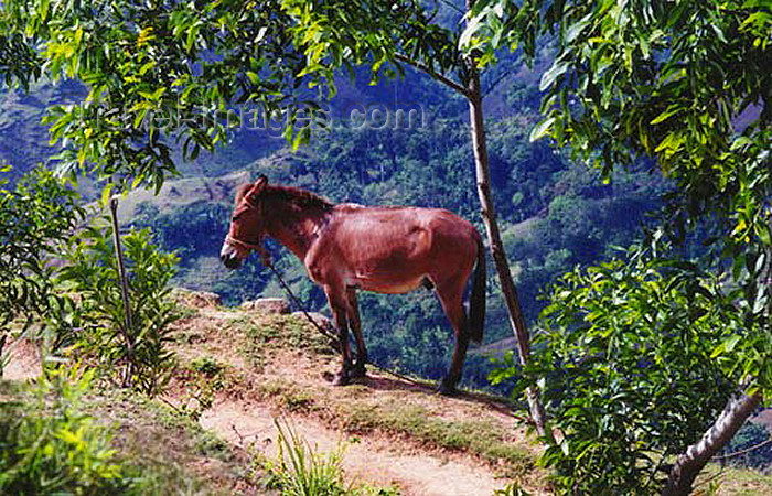 haiti14: Haiti - Fondwa, Ouest Department: local transportation, Hispaniola style - donkey - photo by G.Frysinger - (c) Travel-Images.com - Stock Photography agency - Image Bank