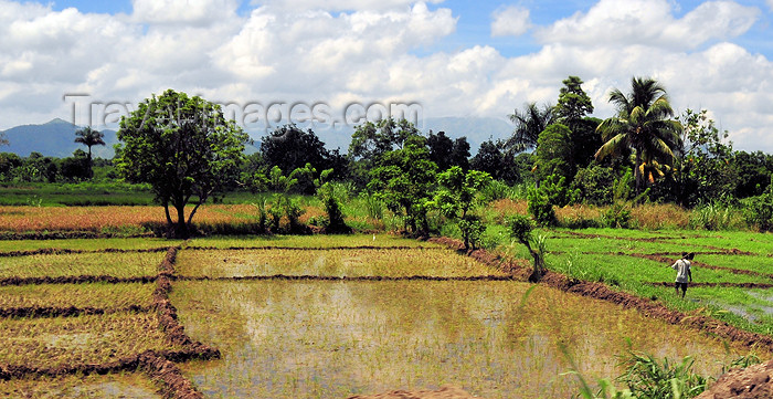 haiti52: Ouanaminthe / Juana Mendez, Nord-Est Department, Haiti: rice paddies - agriculture - photo by M.Torres - (c) Travel-Images.com - Stock Photography agency - Image Bank