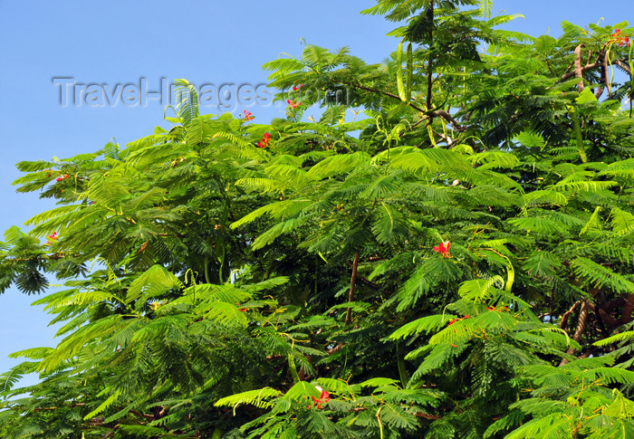 haiti73: Fort-Liberté, Nord-Est Department, Haiti: acacia leaves - photo by M.Torres - (c) Travel-Images.com - Stock Photography agency - Image Bank