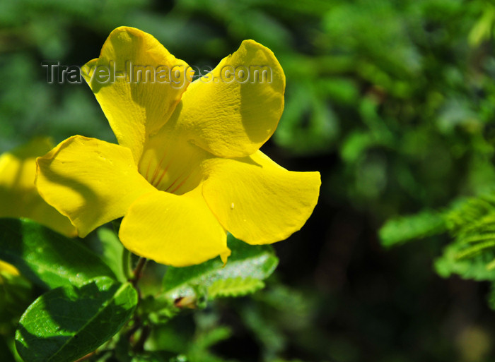 haiti76: Fort-Liberté, Nord-Est Department, Haiti: wild alamanda flower - photo by M.Torres - (c) Travel-Images.com - Stock Photography agency - Image Bank