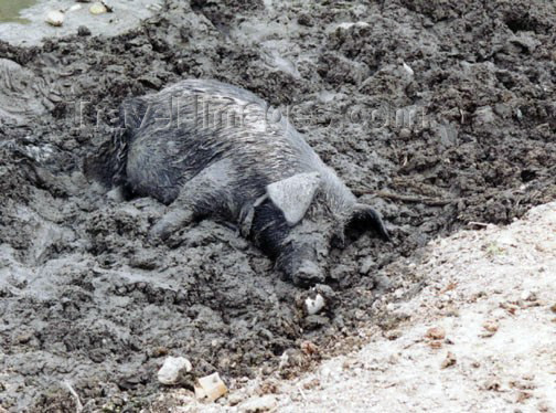 haiti8: Haiti - Cap-Haïtien - countryside: a happy pig - hog in the mud (photo by G.Frysinger) - (c) Travel-Images.com - Stock Photography agency - Image Bank
