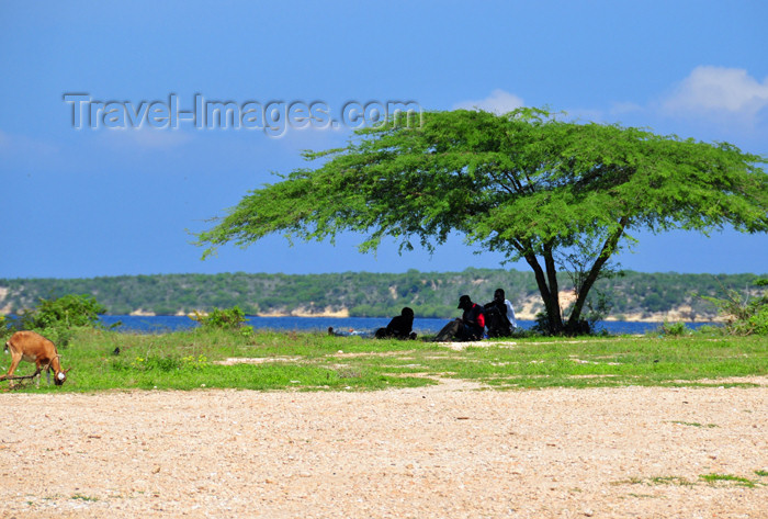 haiti81: Fort-Liberté, Nord-Est Department, Haiti: noon - seeking the shade under an acacia - photo by M.Torres - (c) Travel-Images.com - Stock Photography agency - Image Bank