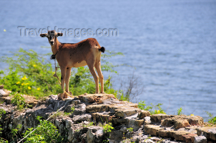 haiti86: Fort-Liberté, Nord-Est Department, Haiti: Fort Dauphin - goat on the sea wall - photo by M.Torres - (c) Travel-Images.com - Stock Photography agency - Image Bank