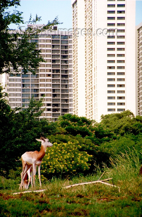 hawaii65: Oahu island: Waikiki beach - deer roaming the city - Photo by G.Friedman - (c) Travel-Images.com - Stock Photography agency - Image Bank