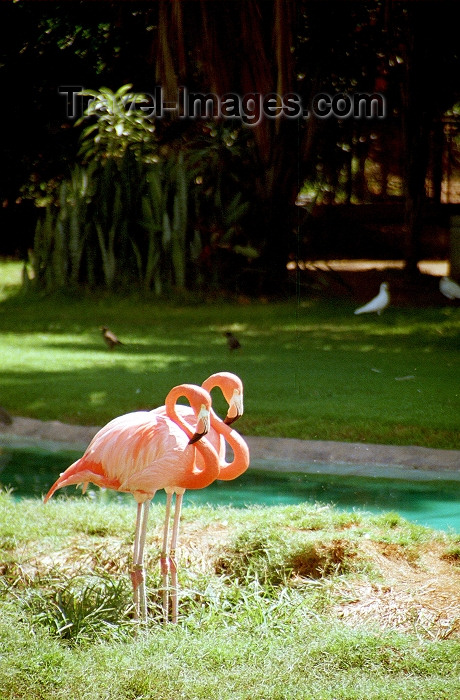hawaii66: Oahu island: Waikiki beach - pink flamingos - Greater Flamingo - Phoenicopterus roseus - Photo by G.Friedman - (c) Travel-Images.com - Stock Photography agency - Image Bank