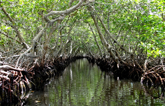 honduras11: Honduras - Roatan: mangroves - aerial  roots by a canal on the swamp - photo by C.Palacio - (c) Travel-Images.com - Stock Photography agency - Image Bank