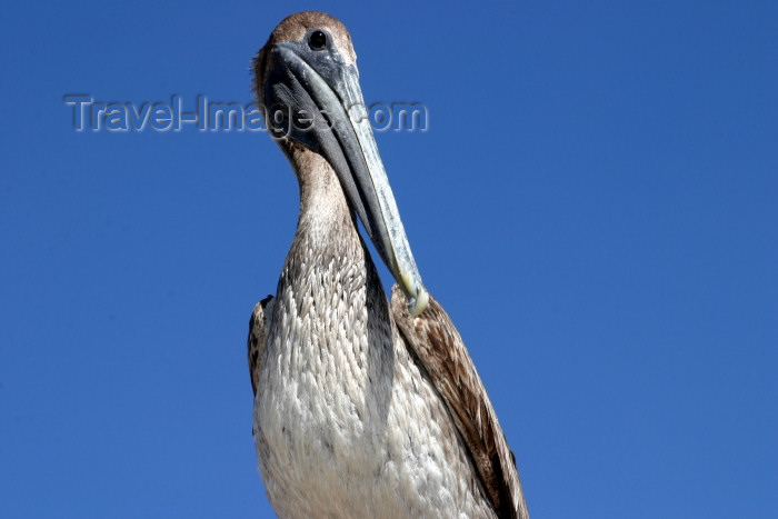 honduras12: Honduras - Puerto Cortés - Cortés department: pelican against a blue sky - photo by C.Palacio - (c) Travel-Images.com - Stock Photography agency - Image Bank